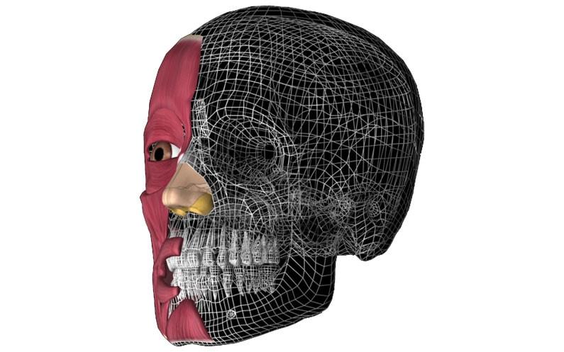 Anatomia – mięśnie twarzy okiem logopedy
